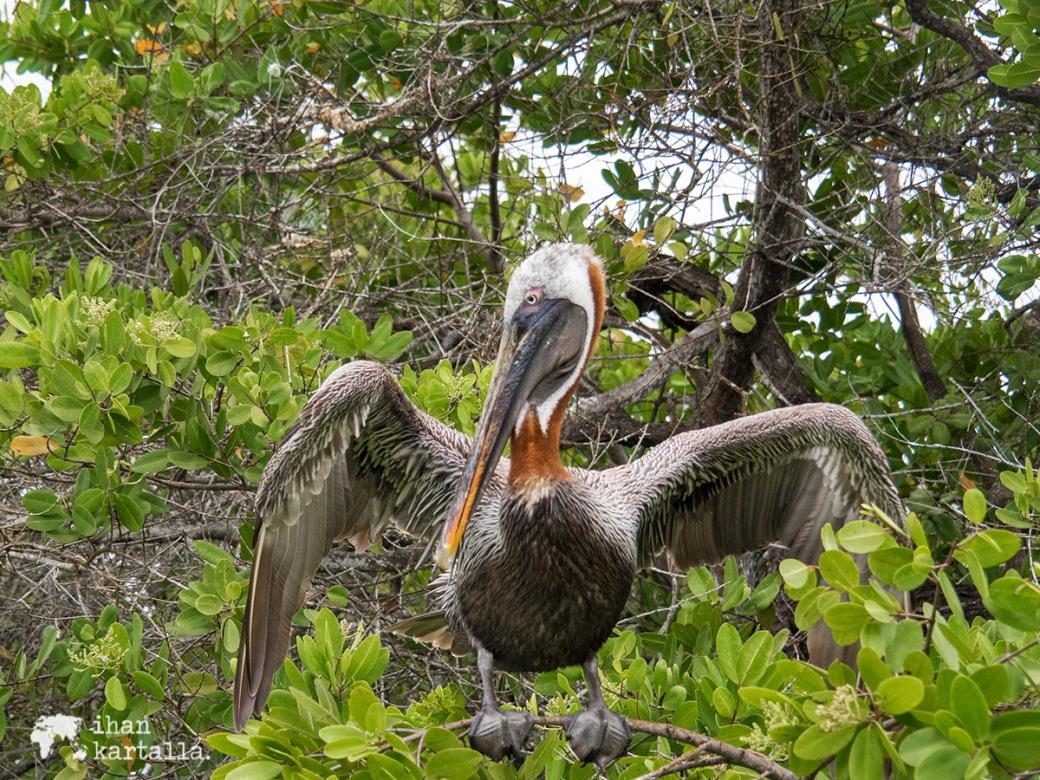 6-9-galapagos-puerto-ayora-pelican