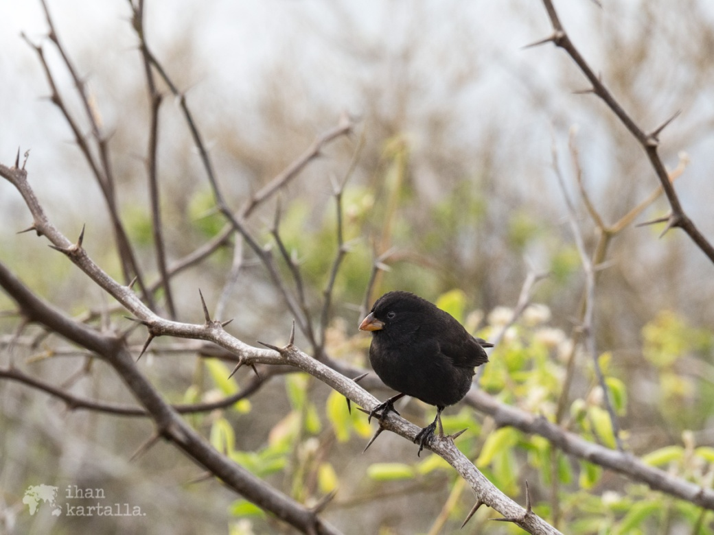 7-9-galapagos-black-finch-tortuga-bay