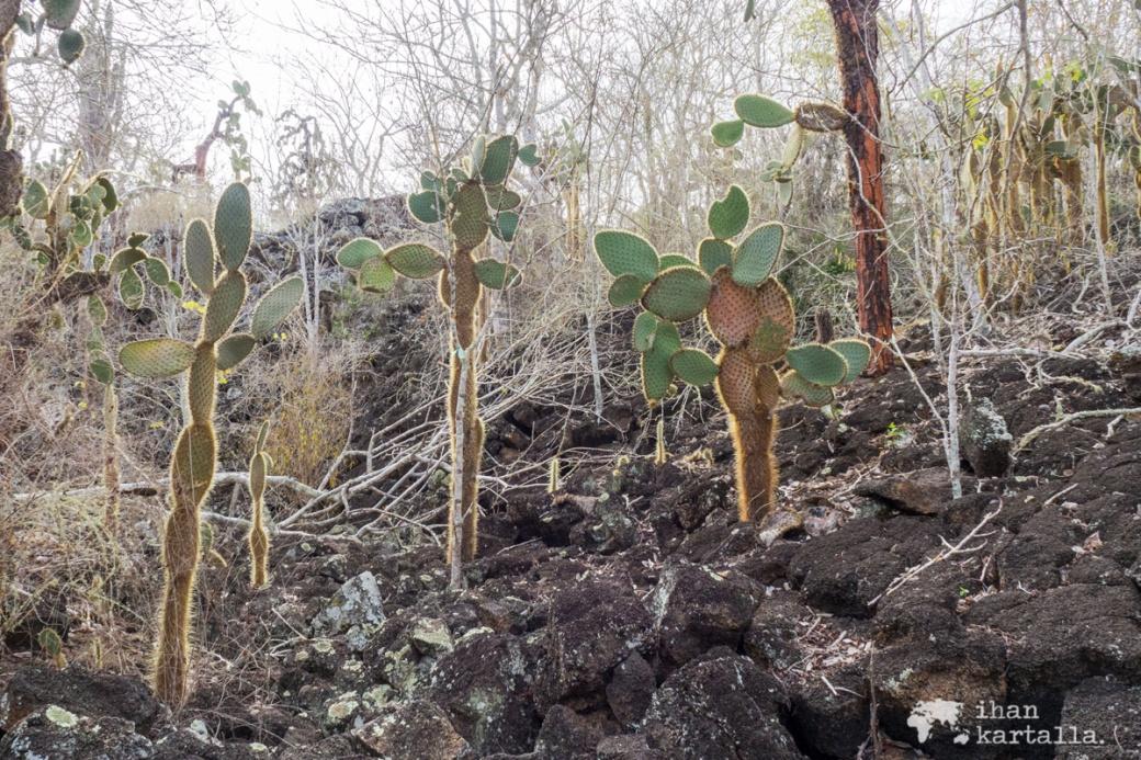 7-9-galapagos-cactus-tortuga-bay
