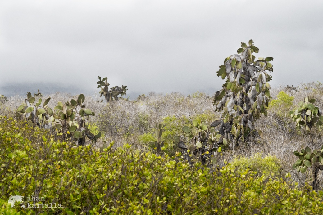 7-9-galapagos-cactuses2-tortuga-bay