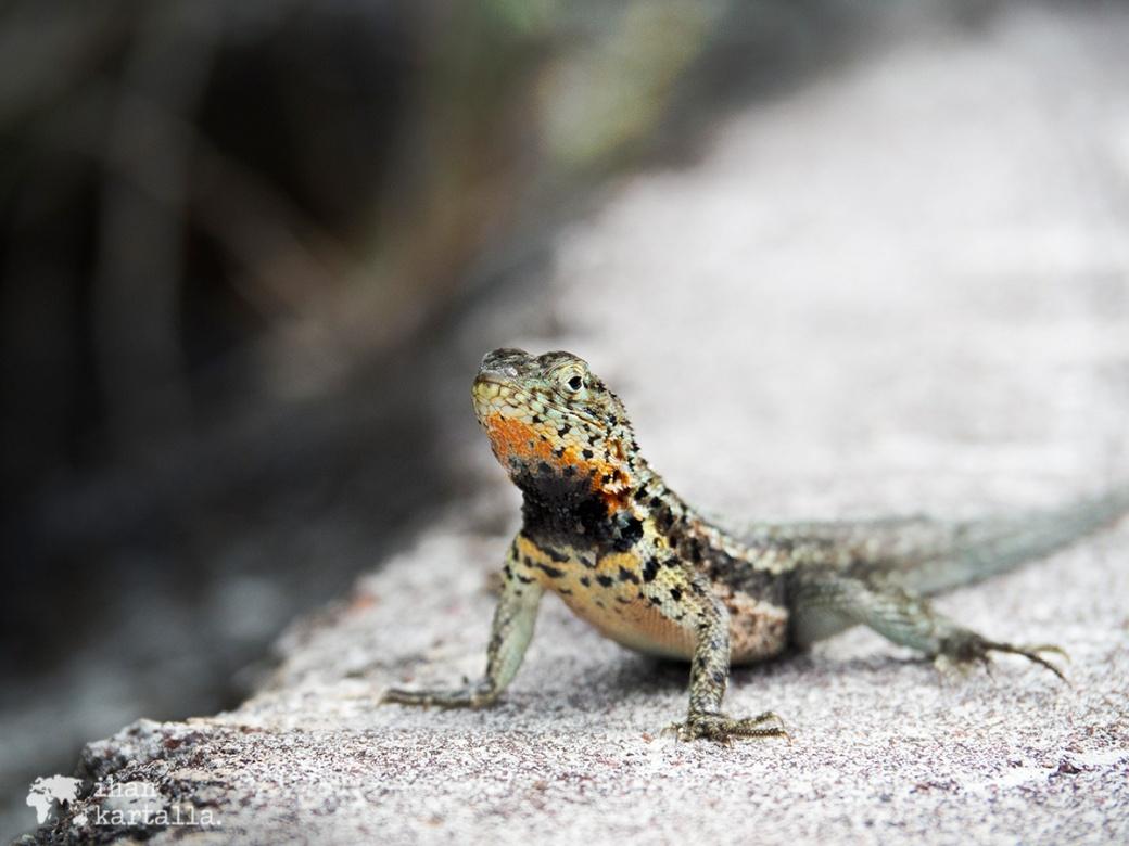 7-9-galapagos-lava-lizard-tortuga-bay