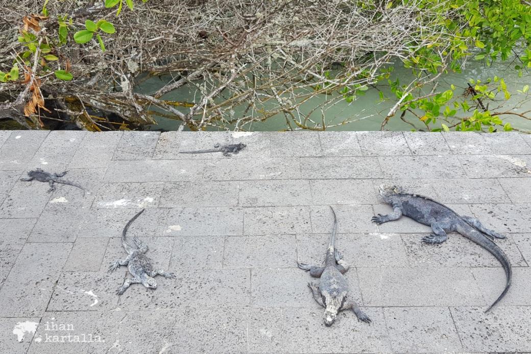 7-9-galapagos-puerto-ayora-iguanas