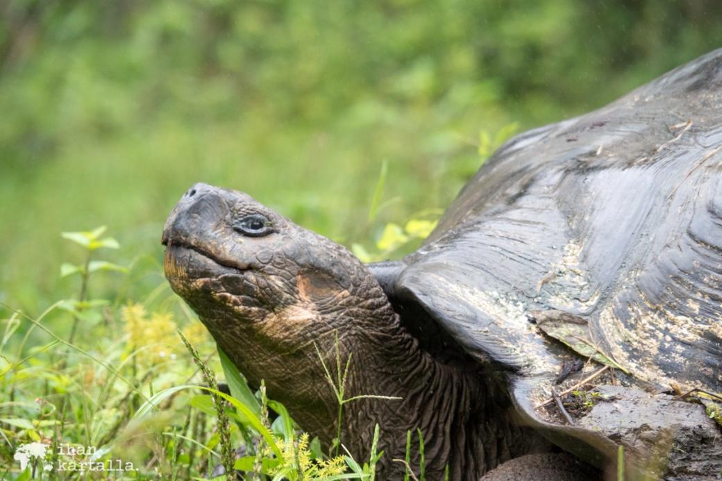 7-9-galapagos-rancho-primicias-tortoise
