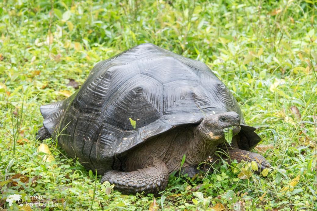 7-9-galapagos-rancho-primicias-tortoise2