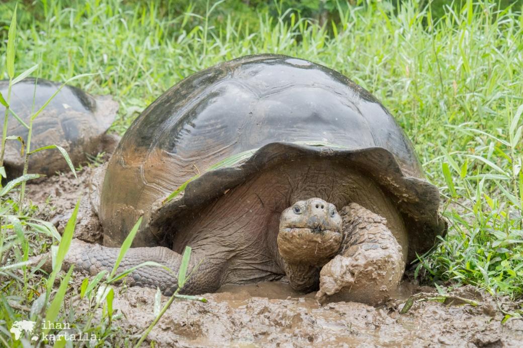 7-9-galapagos-rancho-primicias-tortoise3