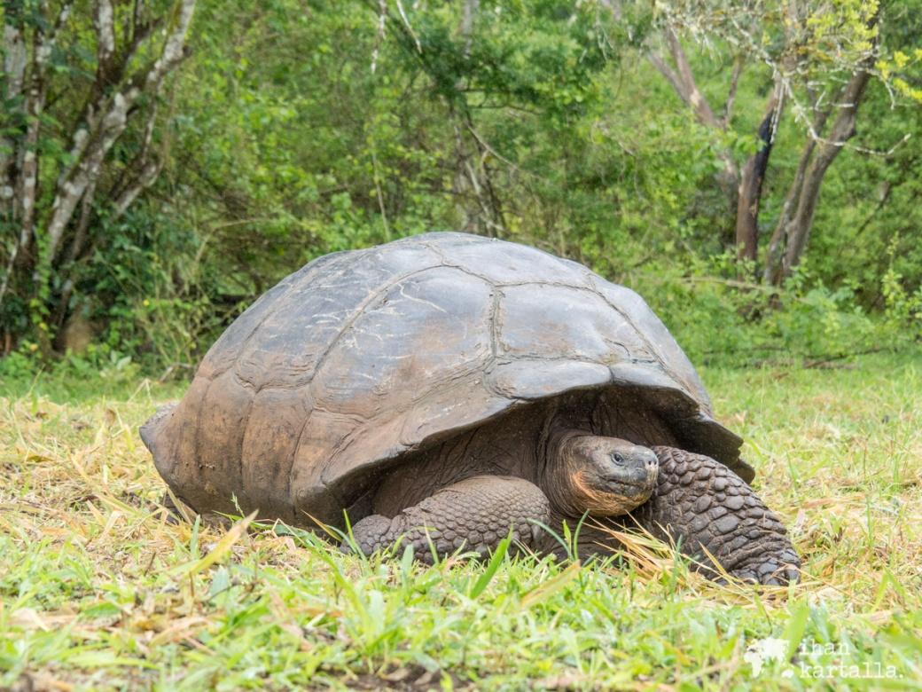 7-9-galapagos-rancho-primicias-tortoise4