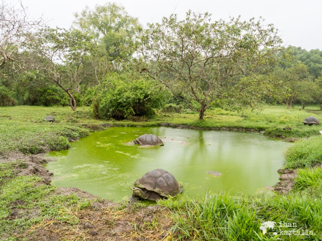 7-9-galapagos-rancho-primicias-tortoises