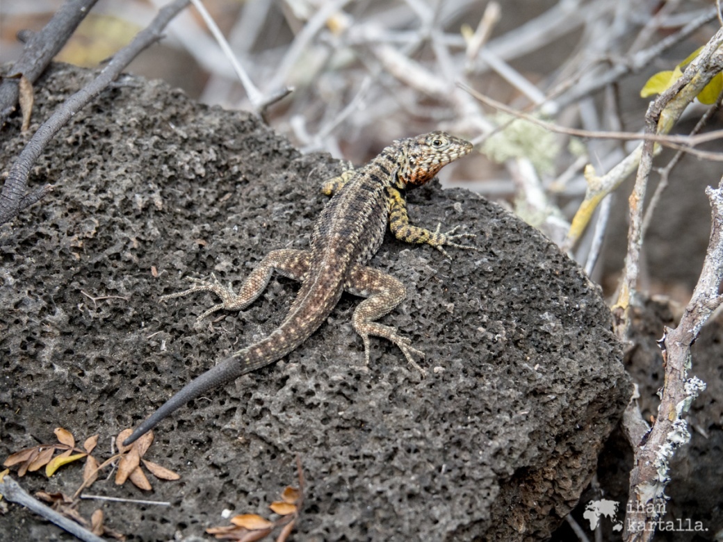 7-9-galapagos-to-tortuga-bay-lizard