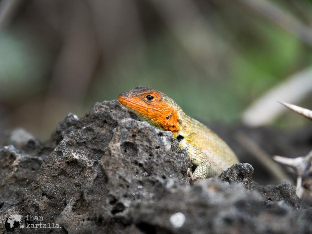 7-9-galapagos-tortuga-bay-lava-lizard