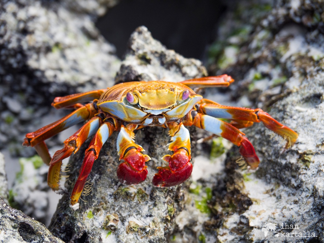 7-9-galapagos-tortuga-bay-sally-lightfoot-crab