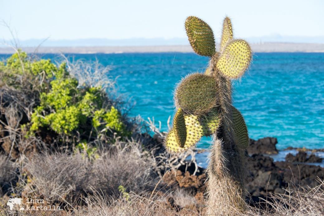 8-9-galapagos-santa-cruz-bachas-beach-cactus