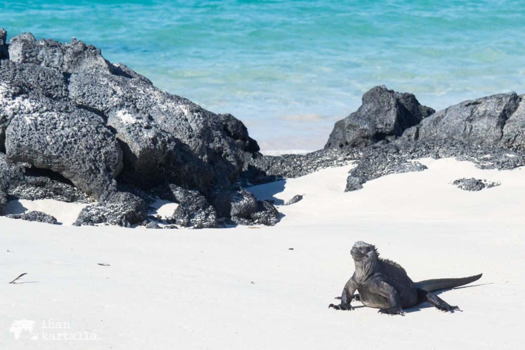 8-9-galapagos-santa-cruz-bachas-beach-iguana