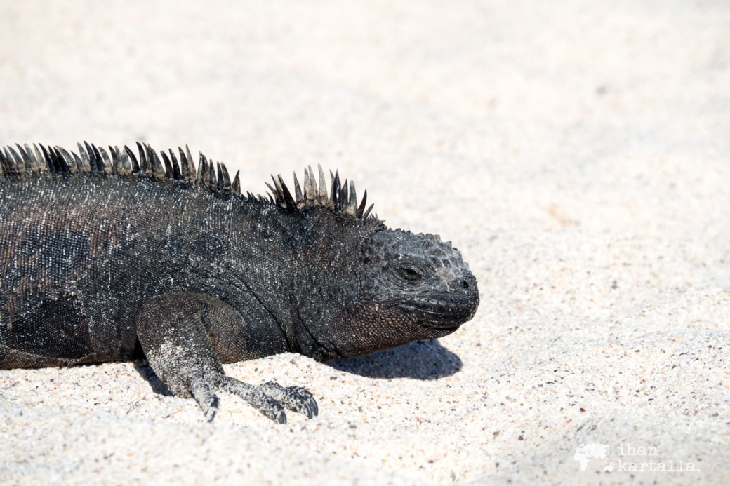 8-9-galapagos-santa-cruz-bachas-iguana