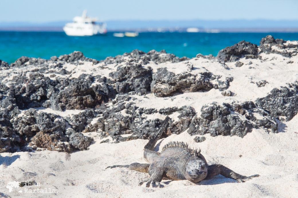 8-9-galapagos-santa-cruz-bachas-iguana2