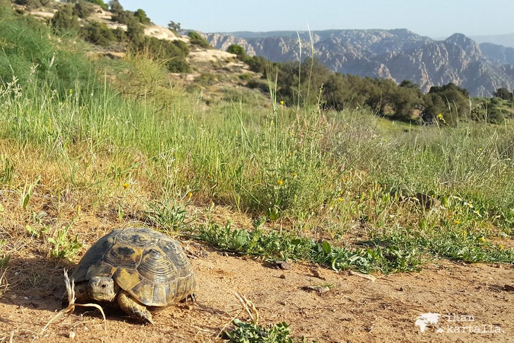 2-4-jordan-dana-biosphere-reserve-turtle