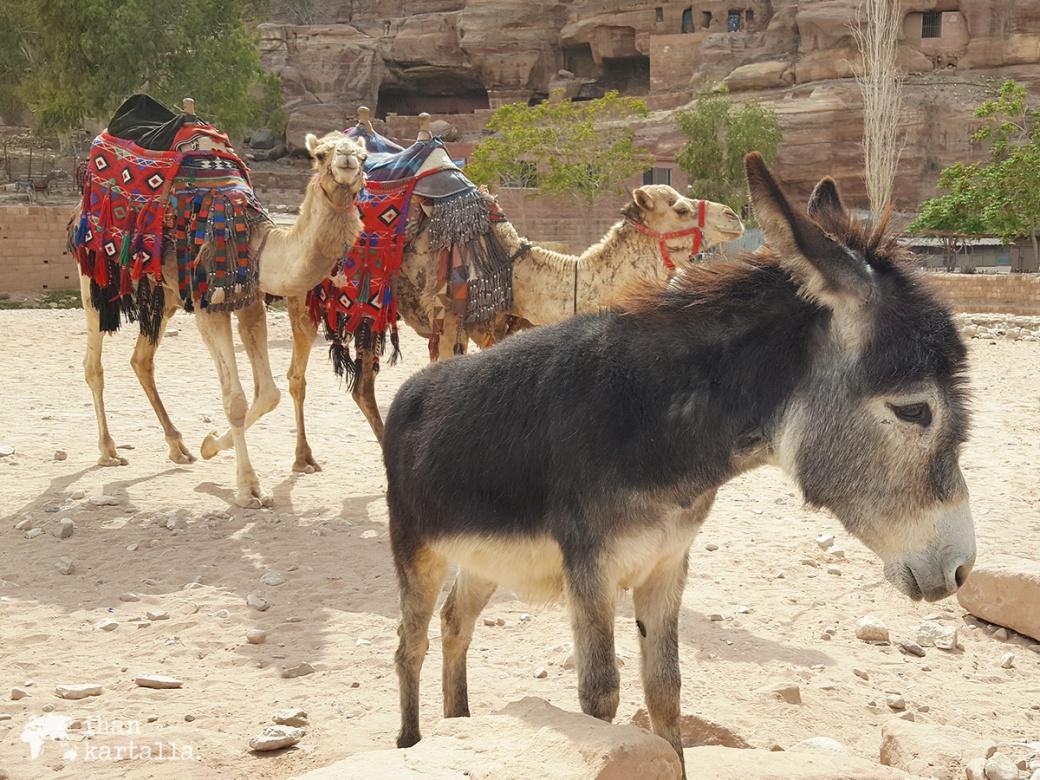 3-4-jordan-petra-donkey-camels